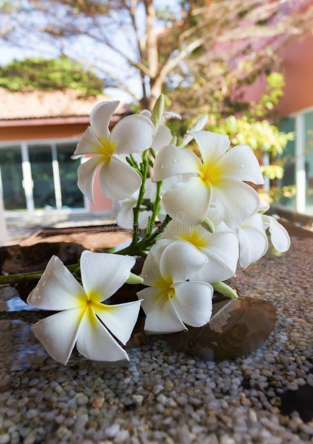 Καλό άσπρο plumeria λουλουδιών που διακοσμείται στην εγχώρια γωνία στοκ εικόνες με δικαίωμα ελεύθερης χρήσης