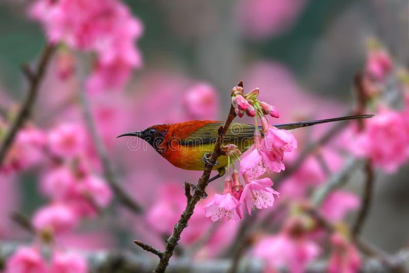 κα Gould ` s Sunbird ή gouldiae Aethopyga, κόκκινο πουλί που σκαρφαλώνουν επάνω στοκ φωτογραφίες