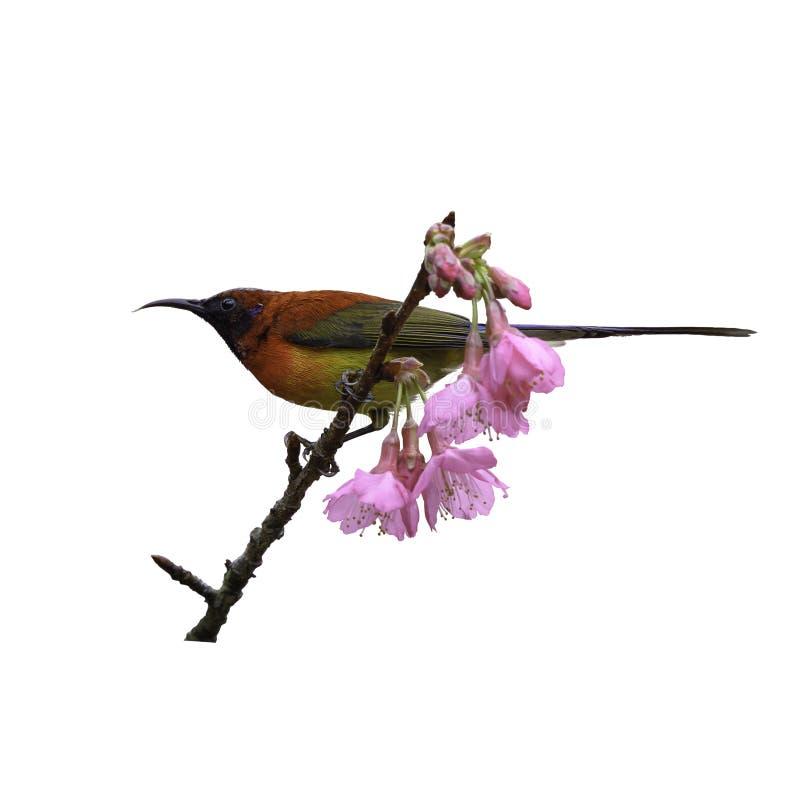 κα Gould ` s Sunbird ή gouldiae Aethopyga, όμορφο κόκκινο πουλί στοκ εικόνες