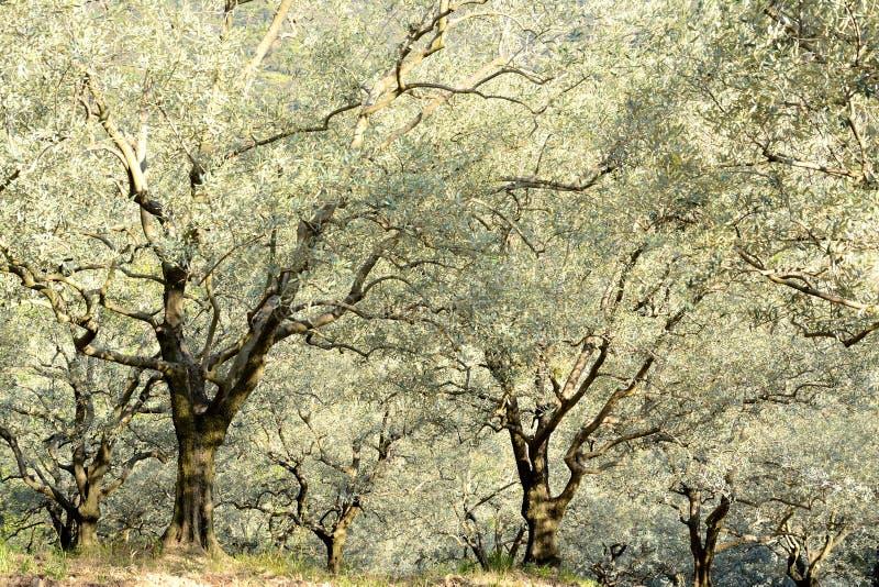 Κεκλιμένος τομέας ελιών Ποιητικός, ηλιόλουστος στοκ εικόνες με δικαίωμα ελεύθερης χρήσης