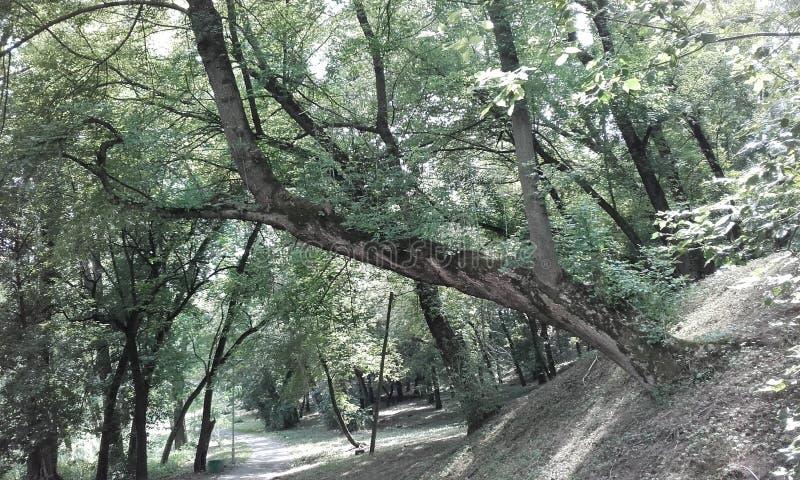 Κεκλιμένο δέντρο, αληθινός επιζών στοκ φωτογραφίες