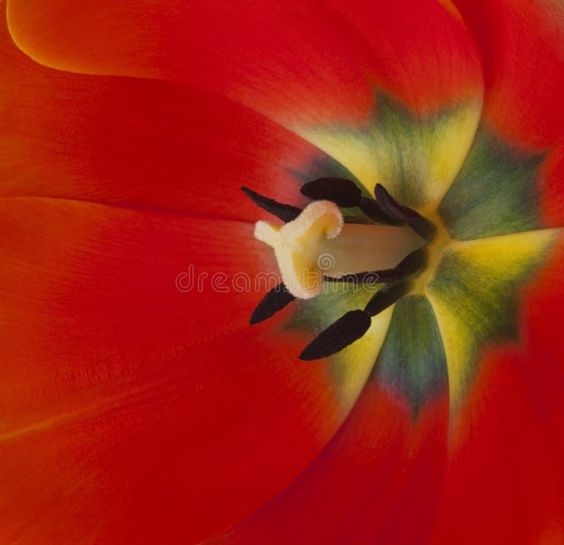 κεντρική κόκκινη τουλίπα στοκ φωτογραφία