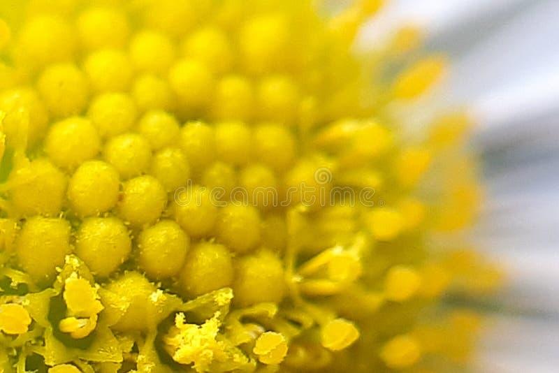κεντρικό, εσωτερικό μέρος της μαργαρίτας Μακροεντολή λουλουδιών της Daisy στοκ φωτογραφία με δικαίωμα ελεύθερης χρήσης