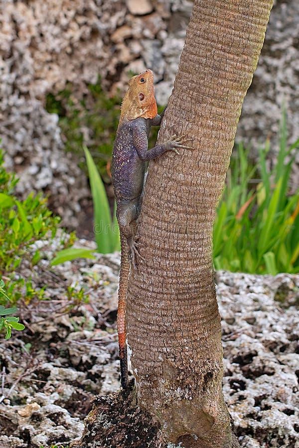 Κενυατική σαύρα αγάμων βράχου που αναρριχείται στο δέντρο στοκ εικόνες