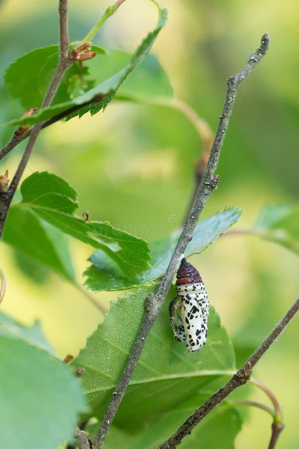Κενός λιγοστός fritillary, χρυσαλίδες maturna Euphydryas μετά από την πεταλούδα έχει εκκολάψει στοκ εικόνες
