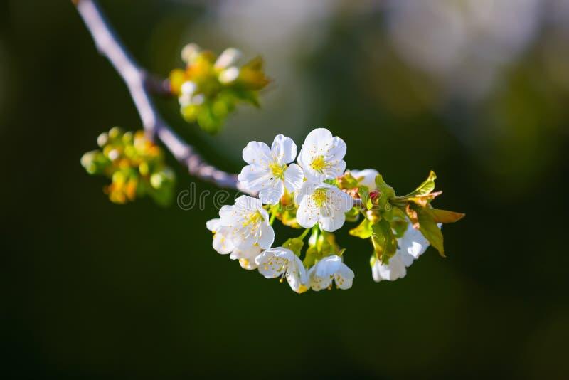 Κεράσι κλάδων με τα άσπρα άνθη σε ένα γκρίζο υπόβαθρο στοκ εικόνα με δικαίωμα ελεύθερης χρήσης