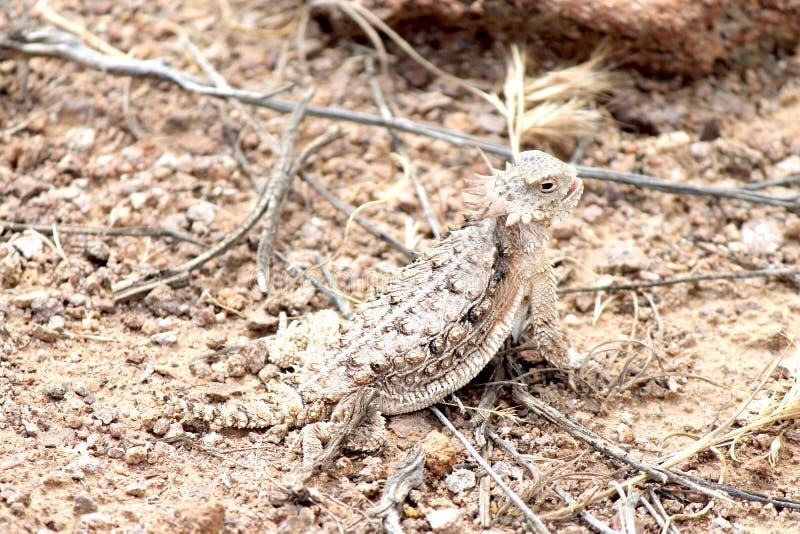 Κερασφόρος σαύρα ερήμων στην Αριζόνα στοκ φωτογραφίες