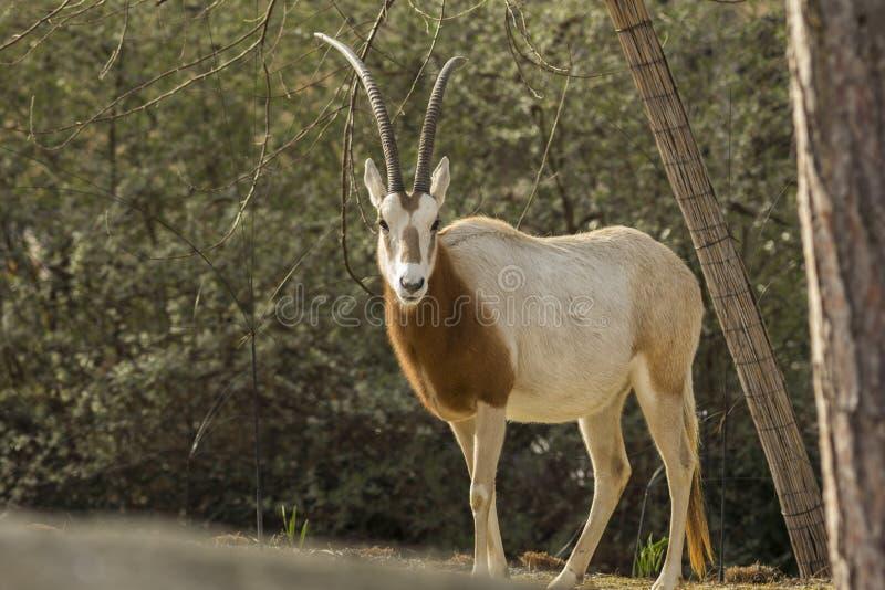 κερασφόρο oryx scimitar στοκ εικόνες με δικαίωμα ελεύθερης χρήσης