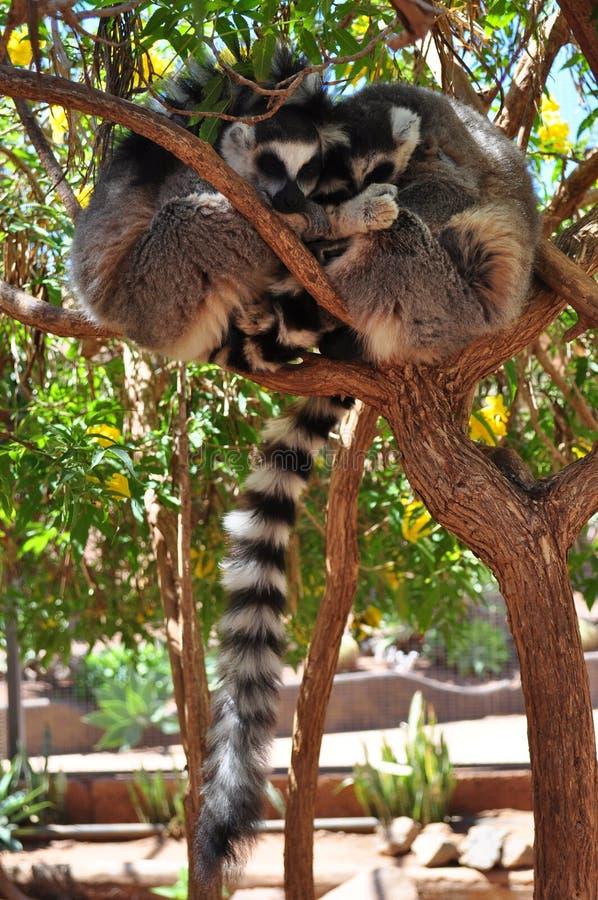 Κερκοπίθηκοι Embrasing στοκ φωτογραφία