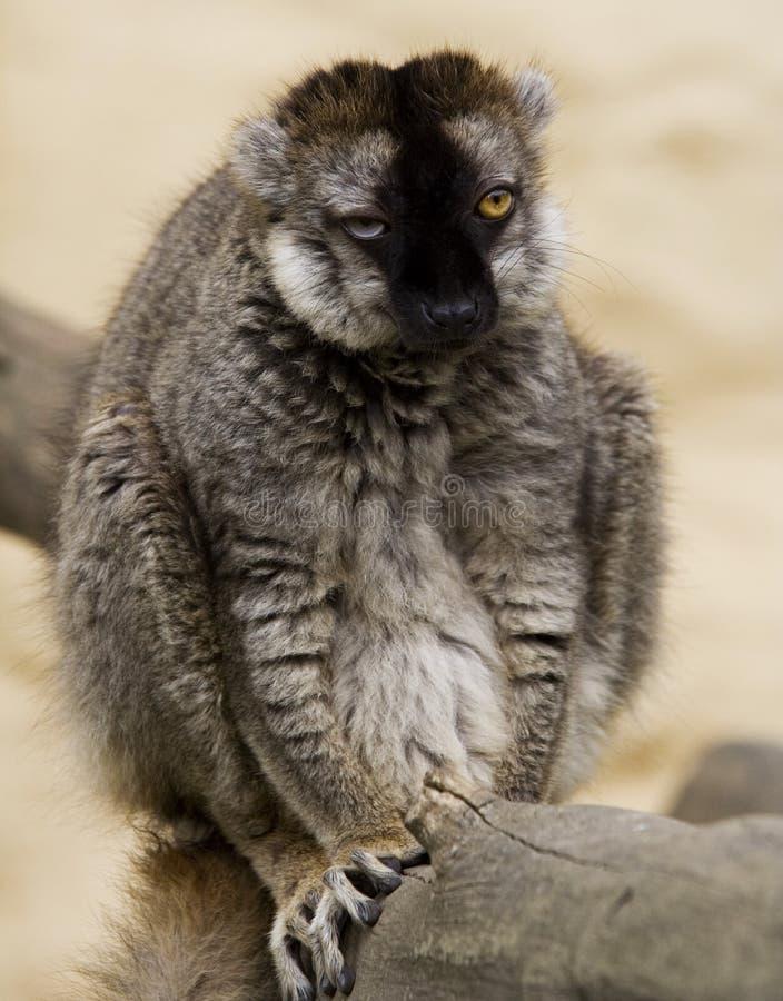 κερκοπίθηκος άσχημος στοκ φωτογραφία με δικαίωμα ελεύθερης χρήσης