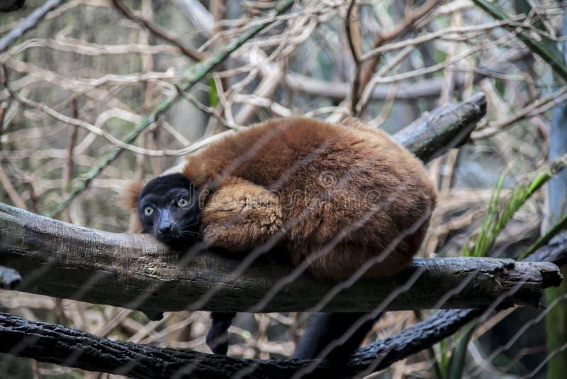 Κερκοπίθηκος κόκκινος-Ruffed που στηρίζεται στον κλάδο στο ζωολογικό κήπο Bronx στοκ εικόνες