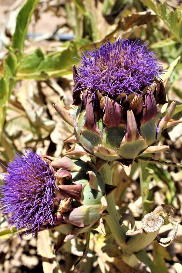 Κεφάλια αγκιναρών με τα λουλούδια άνθιση στην έρημο, Αριζόνα, Ηνωμένες Πολιτείες στοκ εικόνες
