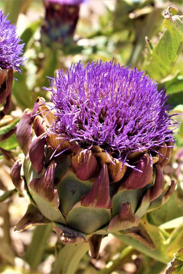 Κεφάλι αγκιναρών με το λουλούδι άνθιση στην έρημο, Αριζόνα, Ηνωμένες Πολιτείες στοκ εικόνα