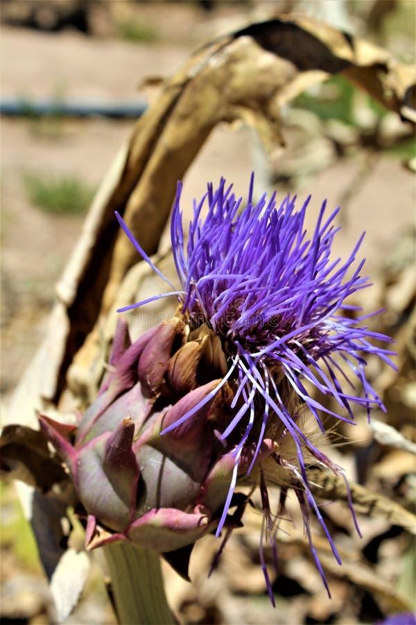 Κεφάλι αγκιναρών με το λουλούδι άνθιση στην έρημο, Αριζόνα, Ηνωμένες Πολιτείες στοκ φωτογραφίες με δικαίωμα ελεύθερης χρήσης