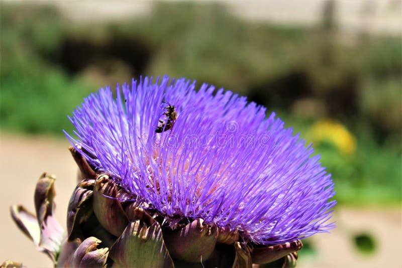 Κεφάλι αγκιναρών με το λουλούδι στην άνθιση με μια μέλισσα στοκ φωτογραφία με δικαίωμα ελεύθερης χρήσης