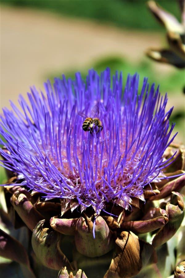 Κεφάλι αγκιναρών με το λουλούδι στην άνθιση με μια μέλισσα στοκ εικόνες με δικαίωμα ελεύθερης χρήσης