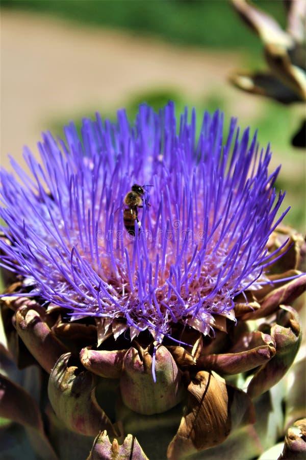 Κεφάλι αγκιναρών με το λουλούδι στην άνθιση με μια μέλισσα στοκ εικόνες