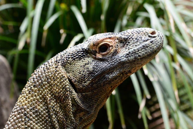 Κεφάλι δράκων Komodo Αγρόκτημα κροκοδείλων Hartley Wangetti Shire Ντάγκλας Queensland Αυστραλία στοκ φωτογραφία