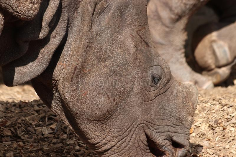 Κεφάλι ρινοκέρων στην εστίαση στο ζωολογικό κήπο στη Γερμανία στη Νυρεμβέργη στοκ εικόνες