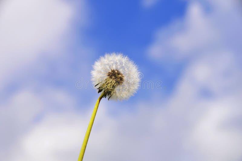 Κεφάλι σπόρου πικραλίδων ενάντια στο μπλε ουρανό με τα άσπρα σύννεφα Όμορφη πικραλίδα στοκ φωτογραφίες