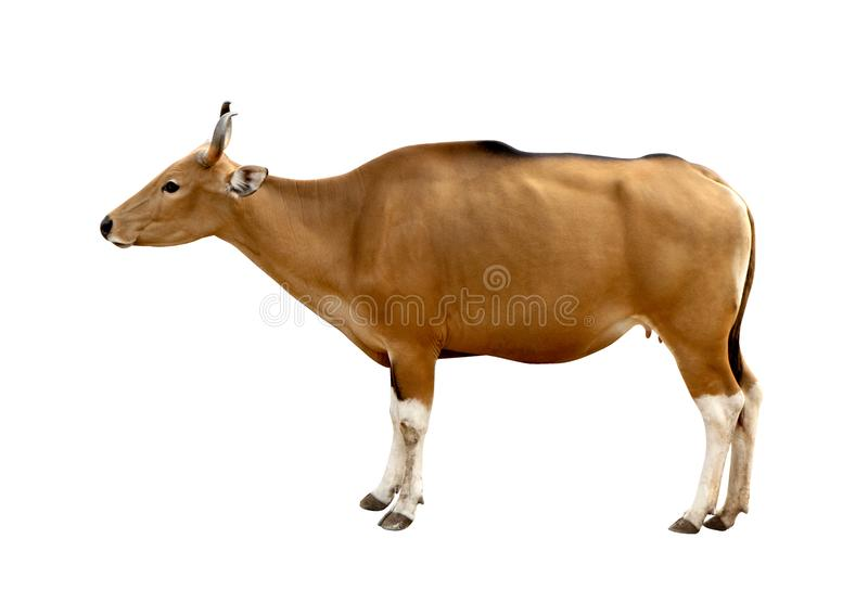 Κεφάλι javanicus Bos Το κόκκινο βόδι είναι μια άγρια αγελάδα Κεφάλι στο άσπρο backgrou στοκ εικόνα