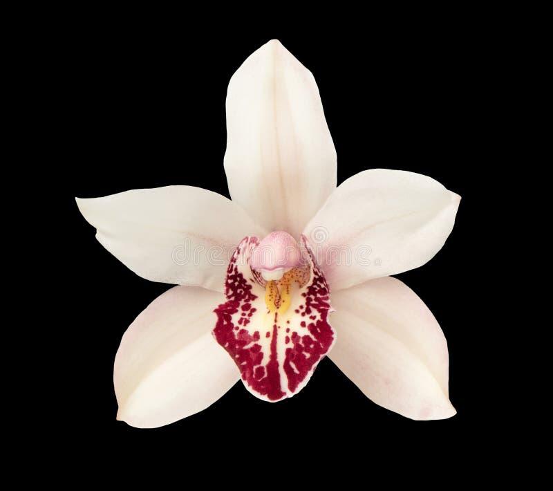Κεφάλι λουλουδιών ορχιδεών που απομονώνεται στη μαύρη κινηματογράφηση σε πρώτο πλάνο υποβάθρου στοκ φωτογραφίες