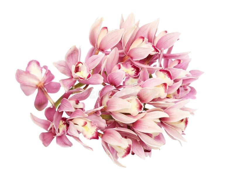 Κεφάλι λουλουδιών του cymbidium στοκ φωτογραφία
