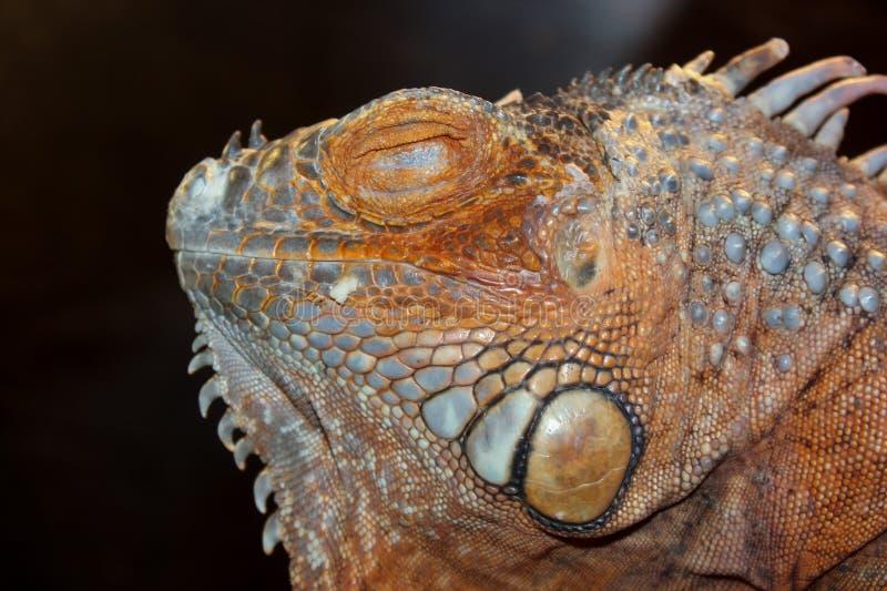 Κεφάλι Iguana στο σκοτεινό υπόβαθρο στοκ φωτογραφίες