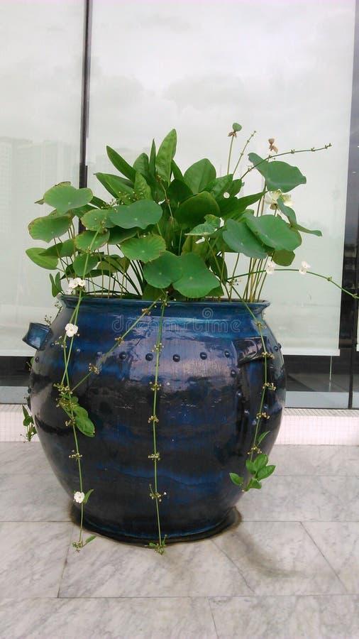 Κεφάλι Lotus και βελών με το άσπρο δοχείο της Αμαζώνας λουλουδιών στοκ φωτογραφία με δικαίωμα ελεύθερης χρήσης