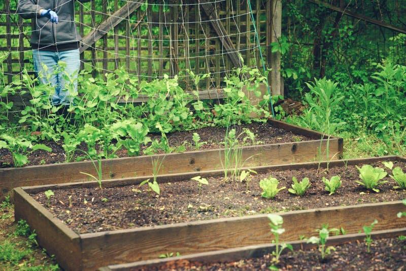 Κηπουρική και συντήρηση 2 ένωση των μπιζελιών στοκ φωτογραφία με δικαίωμα ελεύθερης χρήσης
