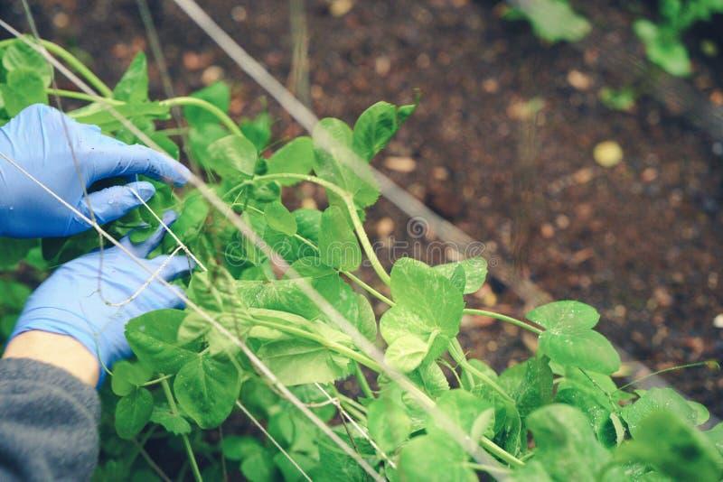 Κηπουρική και συντήρηση 3 Καθαρισμός και ένωση veggies στοκ εικόνες