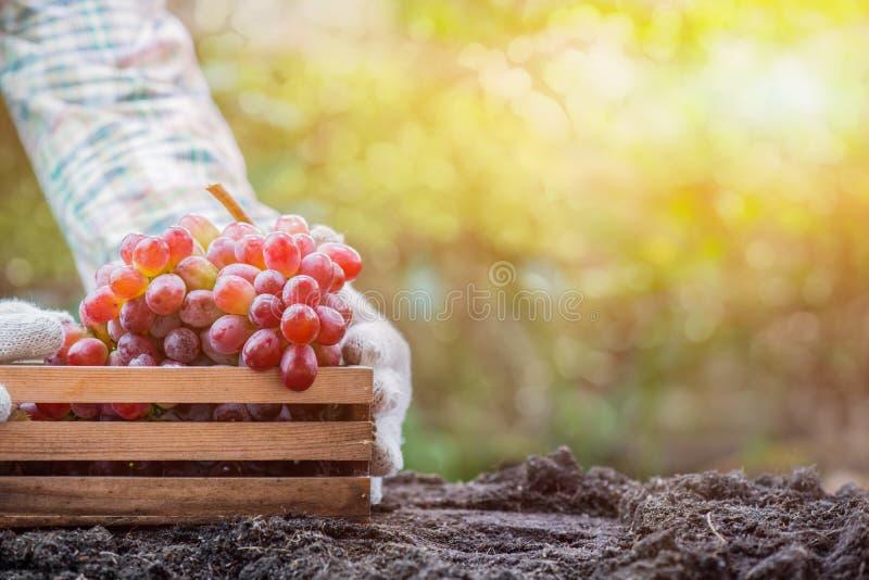 Κηπουροί που επιλέγουν το σταφύλι στο αγρόκτημα στοκ φωτογραφία με δικαίωμα ελεύθερης χρήσης