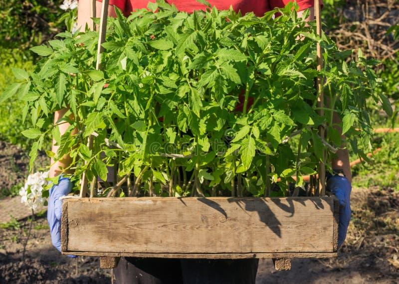 Κηπουρός με ένα κιβώτιο των σποροφύτων ντοματών στα χέρια του στοκ εικόνες με δικαίωμα ελεύθερης χρήσης