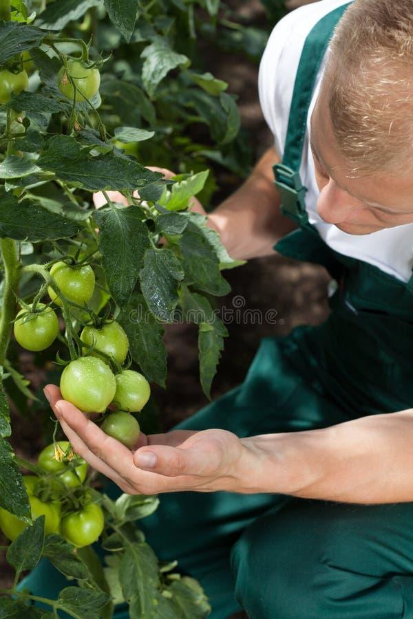 Κηπουρός που φροντίζει για τις ντομάτες στοκ φωτογραφία με δικαίωμα ελεύθερης χρήσης