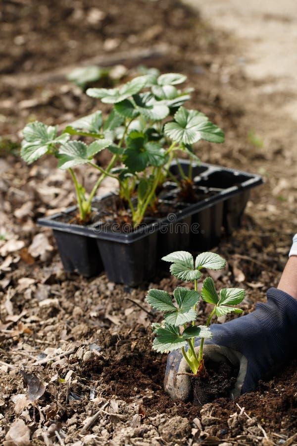 Κηπουρός που φυτεύει τα σπορόφυτα φραουλών στα πρόσφατα οργωμένα κρεβάτια κήπων στοκ εικόνα