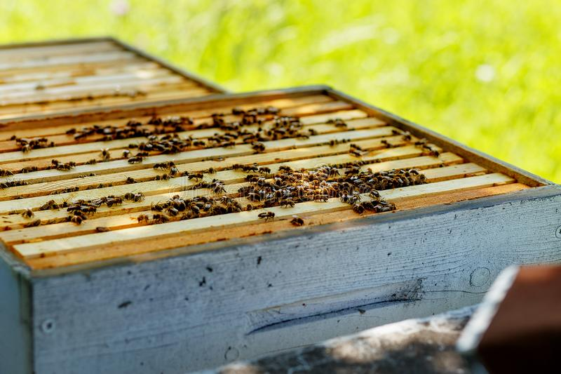 Κηρήθρες μελισσών με το μέλι και τις μέλισσες Μελισσοκομία στοκ εικόνα