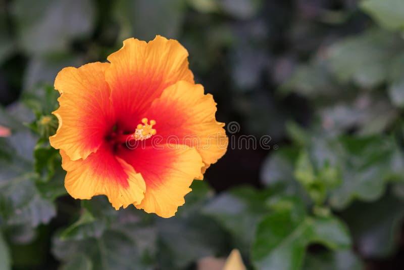 Κινεζικά αυξήθηκε, αποκαλούμενος επίσης hibiscus, ανήκει στην οικογένεια Malvaceae στοκ φωτογραφία με δικαίωμα ελεύθερης χρήσης