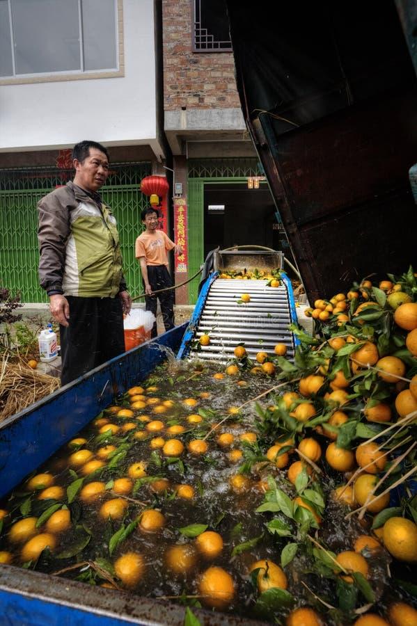 Κινεζικά πορτοκάλια εκφόρτωσης προσοχής αγροτών στο containe πλυντηρίων στοκ εικόνα