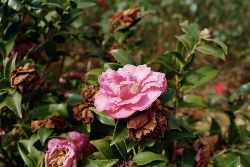 Κινεζικά camelliae στοκ φωτογραφία με δικαίωμα ελεύθερης χρήσης