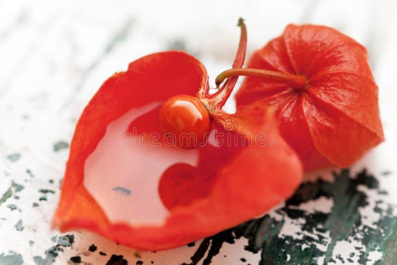 κινεζικά physalis φαναριών alkekengi στοκ εικόνες