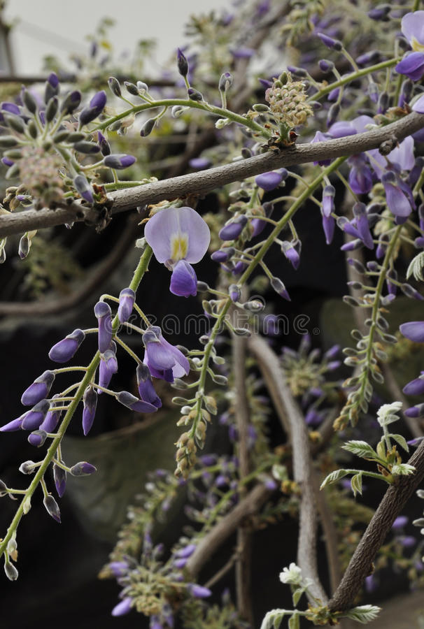 Κινεζικές ανθίσεις wisteria στοκ εικόνες