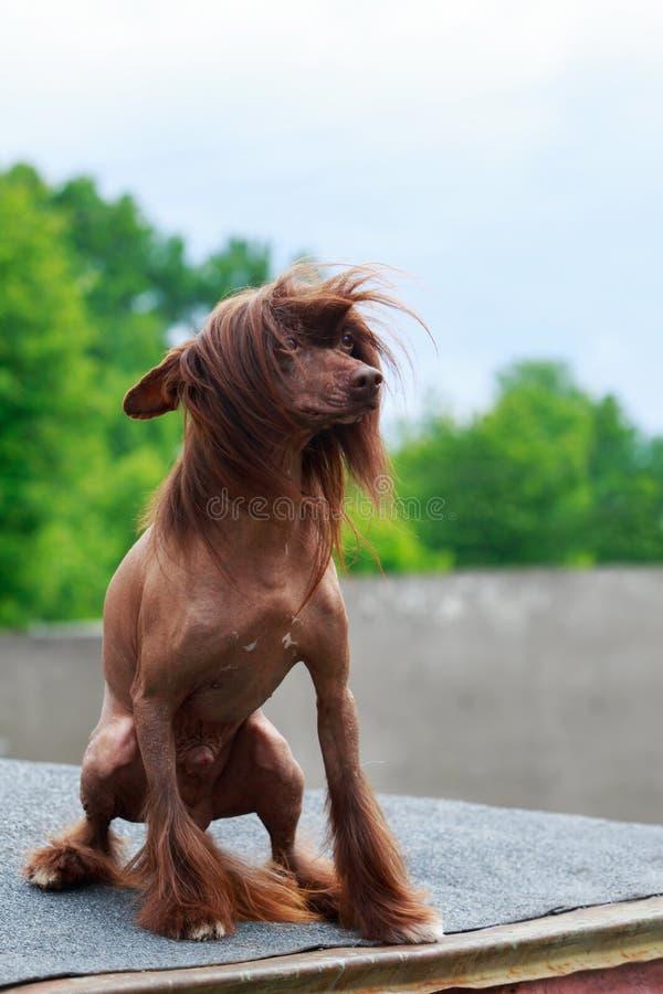 Κινεζικός λοφιοφόρος φυλής σκυλιών στοκ φωτογραφία με δικαίωμα ελεύθερης χρήσης