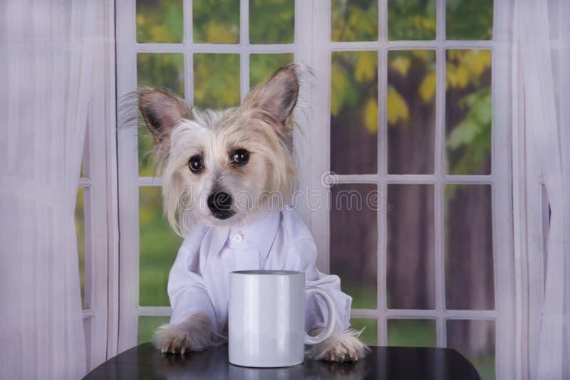 Κινεζικός λοφιοφόρος πίνοντας τον καφέ πρωινού της στοκ εικόνα με δικαίωμα ελεύθερης χρήσης