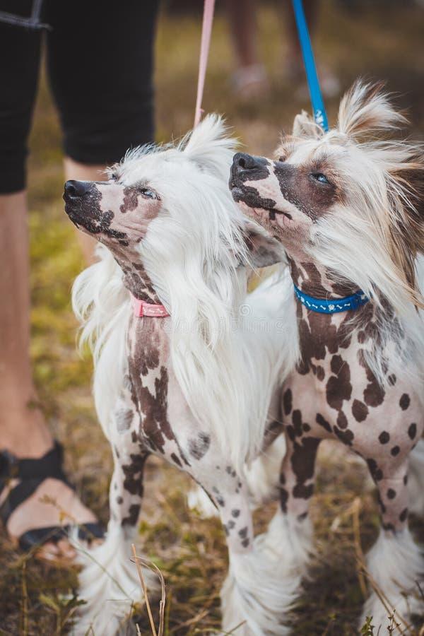 Κινεζικός λοφιοφόρος σε μια έκθεση των σκυλιών στοκ φωτογραφίες