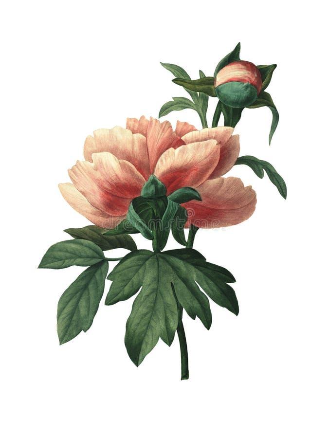 Κινεζικός peony   Παλαιές απεικονίσεις λουλουδιών ελεύθερη απεικόνιση δικαιώματος