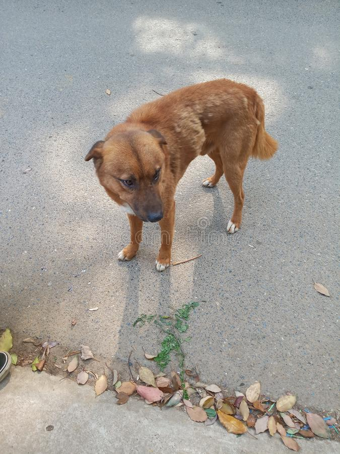 Κινεζικό αγροτικό σκυλί στοκ φωτογραφίες