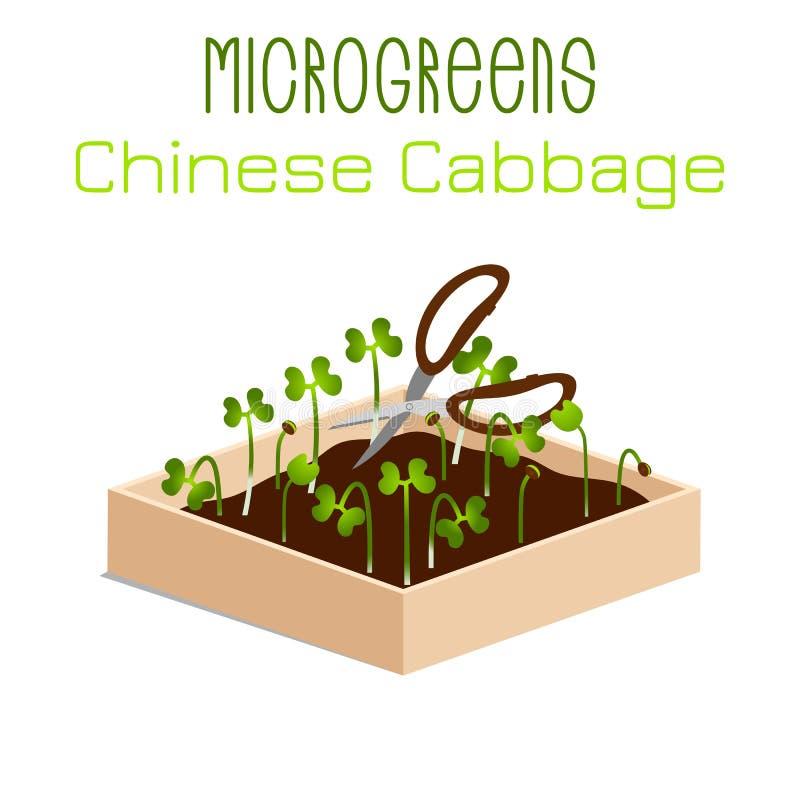 Κινεζικό λάχανο Microgreens Νεαροί βλαστοί σε ένα κύπελλο Βλαστάνοντας σπόροι εγκαταστάσεων Συμπλήρωμα βιταμινών, vegan τρόφιμα ελεύθερη απεικόνιση δικαιώματος