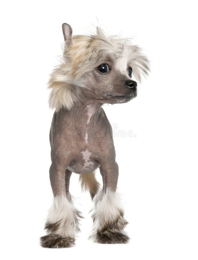 Κινεζικό λοφιοφόρο σκυλί - άτριχο κουτάβι 3 μήνες στοκ εικόνες