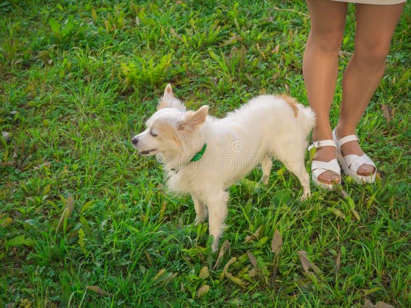 Κινεζικό λοφιοφόρο σκυλί σε έναν περίπατο που στέκεται δίπλα στα θηλυκά πόδια στοκ φωτογραφία με δικαίωμα ελεύθερης χρήσης