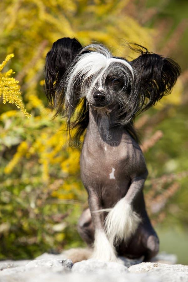 Κινεζικό λοφιοφόρο άτριχο πορτρέτο σκυλιών στοκ φωτογραφίες με δικαίωμα ελεύθερης χρήσης